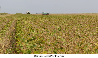 Soybean crop harvest, field, combine and tractor - Soy bean...