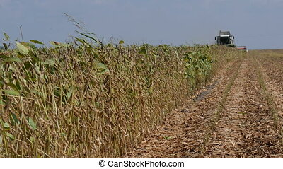 Soybean crop harvesting plants, field and combine