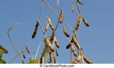 Soybean crop, plants in field - Closeup of soy bean crop,...