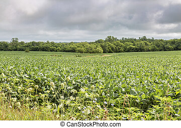 soybean crops in Missouri with wildflowers in front and tree...