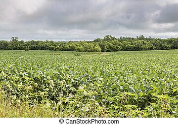 soybean crops in Missouri
