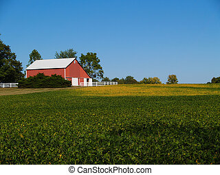 Ripening soybean field in front of red barn beneath a clear blue sky.
