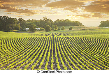 Rows of young soybean plants shot at sundown in Minnesota