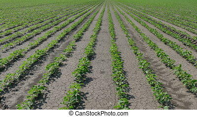 Soybean field in spring