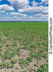 Soybean field in summer