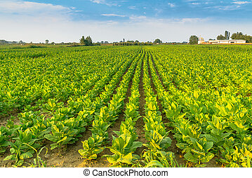 soybean field  in sunlight
