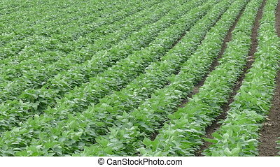 Soybean field, vertical panning - Agriculture, green...