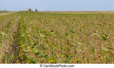 Soybean harvesting - Soybean plants in field with combine...