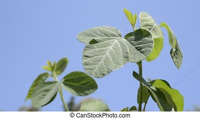 Soybean plant - Green soybean plant under blue sky in spring