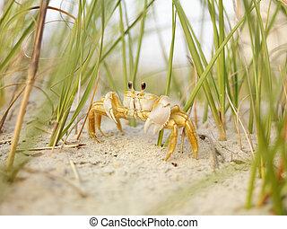 spöke, strand., krabba