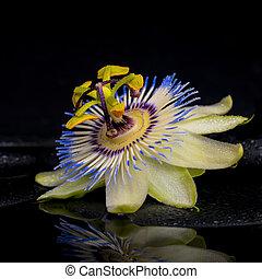 spa, conceito, de, passiflora, flor, ligado, zen, pedras, com, reflexão, i