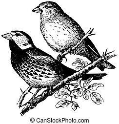 spaanse , vogels, mus