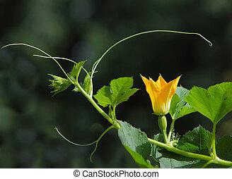 spaghetti squash Flower