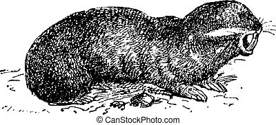 Spalax or mole rat, vintage engraving.