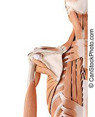 spalla, muscoli