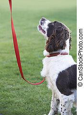 spaniel, correa, obediente, perro, aire libre