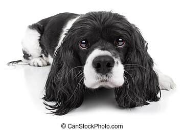 Spaniel Dog Isolated - Spaniel dog isolated on white