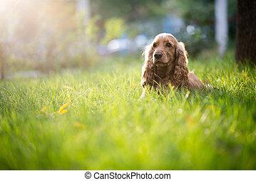 spaniel, hund, ras, är, in, den, gräs, under, solljus