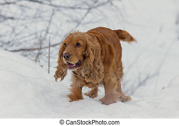 spaniel in the snow