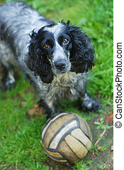 spaniel look at camera with a soccer ball