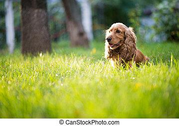 spaniel, rashond dog, is, in, de, gras, onder, zonlicht