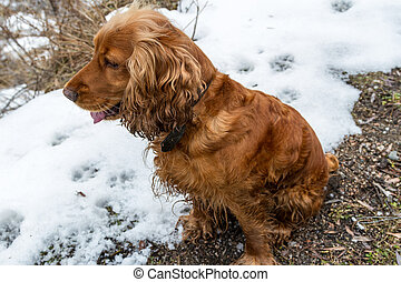 Spaniel sits in the snow