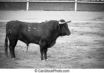 Spanish bull in bullring, Spanish bullfight