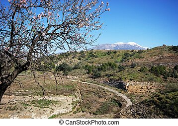 Almond tree in the Spanish countryside during the Springtime withsnow capped mountains to the rear near Lake Vinuela, Costa del Sol, Malaga Province, Andalusia, Spain, Western Europe.