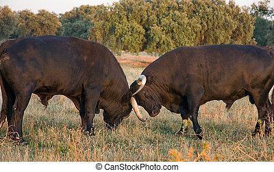 Spanish free range fighting bulls breed on extensive...