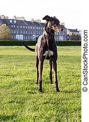 Spanish Greyhound dog in a park