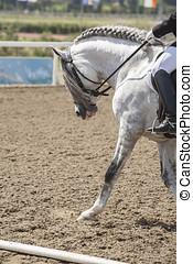 Spanish horse of pure race taking part during an exercise of equestrian morphology in Mijas, Andalusia, Spain