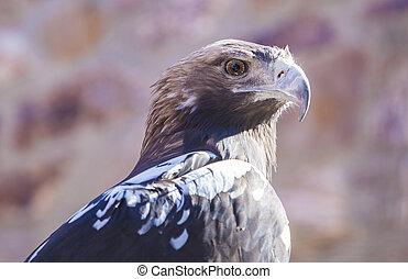 Spanish imperial eagle or Aquila adalberti. Portrait - ...