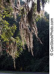 Beautiful gray spanish moss on a summer evening as the light catches it and the wind gently strokes it. The dark background and green of the tree enhance the photo.