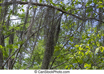 Close up of Spanish moss hanging down from a tree