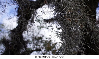 Spanish Moss Closeup
