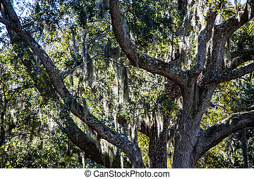 Spanish Moss in Oak LImbs