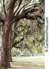 Spanish Moss in Oak Trees Over Park