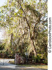 Spanish Moss in Tree Over Gate