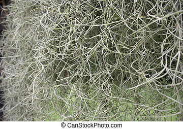 spanish moss nature background