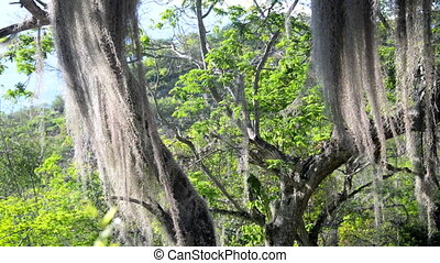 Spanish Moss on a Tree - Spanish Moss blowing in the wind on...