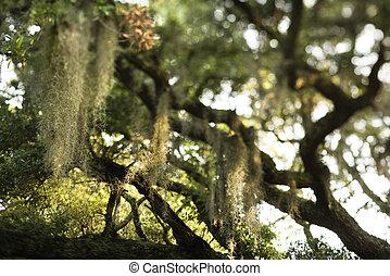 Spanish moss on tree.