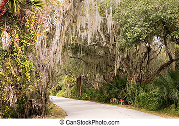 Spanish moss hanging in Southern Live Oak trees over pathway in sun-lit Florida state park