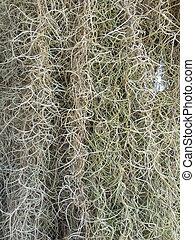 Spanish moss background texture