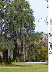 Spanish moss hanging in Southern Live Oak tree