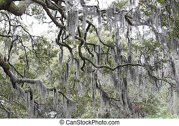 Spanish moss in oak trees in rural south