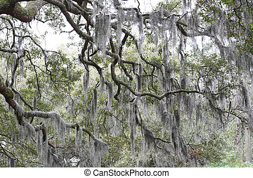 Spanish Moss - Spanish moss in oak trees in rural south