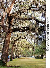 Trees filled with spanish moss in a Savannah, Georgia park
