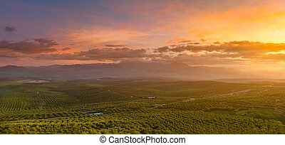 Spanish olive tree landscape at sunrise