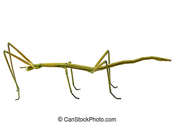 Spanish Walking Stick insect species Leptynia hispanica in ...