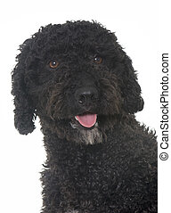 spanish water dog